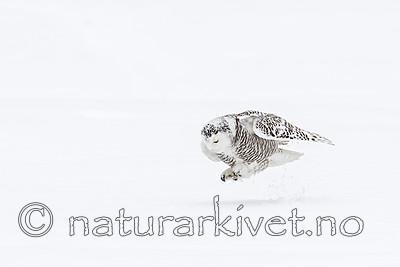 KA_120322_0369 / Bubo scandiacus / Snøugle