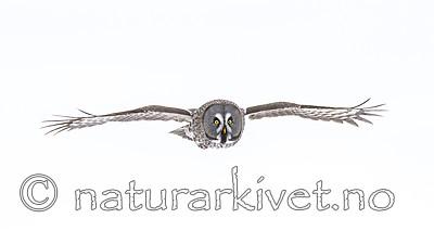 KA_120323_0593-Edit-3 / Strix nebulosa / Lappugle