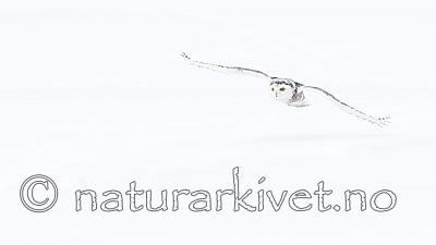 KA_120325_0898 / Bubo scandiacus / Snøugle