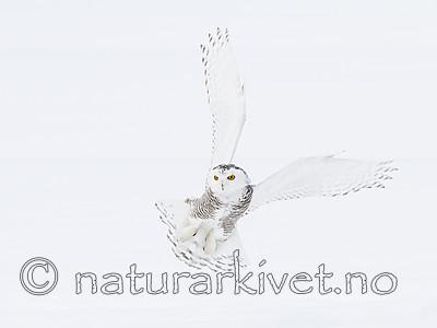 KA_120325_0900 / Bubo scandiacus / Snøugle