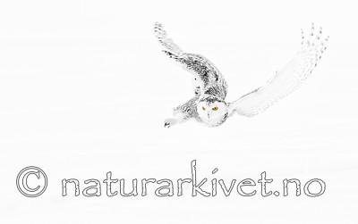 KA_120325_0902_SH / Bubo scandiacus / Snøugle