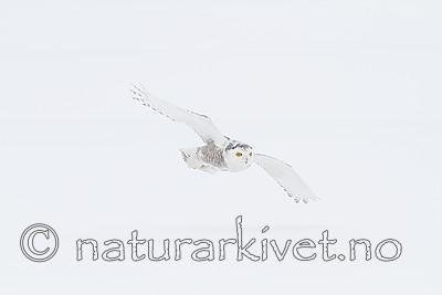 KA_120325_0927 / Bubo scandiacus / Snøugle