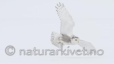 KA_120325_0929 / Bubo scandiacus / Snøugle