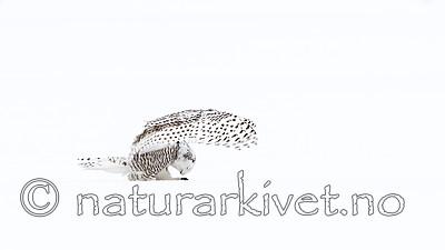 KA_120325_0938 / Bubo scandiacus / Snøugle