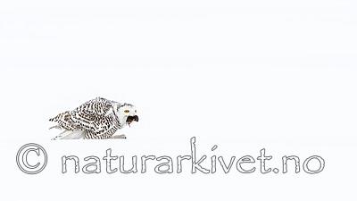 KA_120325_0942 / Bubo scandiacus / Snøugle