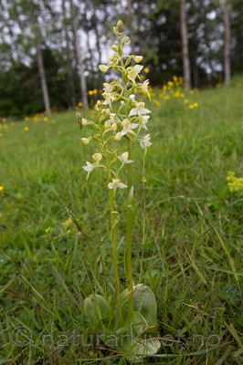 KA_120614_2592 / Platanthera montana / Grov nattfiol