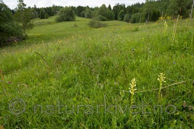 KA_120614_2595 / Platanthera montana / Grov nattfiol