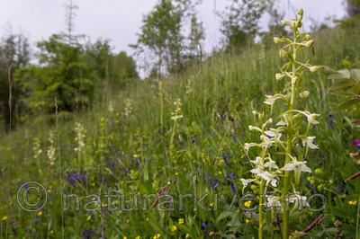 KA_120617_2835 / Platanthera montana / Grov nattfiol