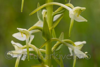 KA_120617_2836 / Platanthera montana / Grov nattfiol