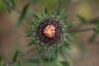 KA_120710_2911 / Carlina vulgaris / Stjernetistel <br /> Carlina vulgaris longifolia / Stor stjernetistel