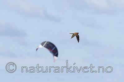 KA_120908_6025 / Falco tinnunculus / Tårnfalk