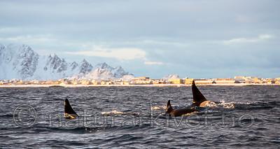 KA_130204_0164 / Orcinus orca / Spekkhogger