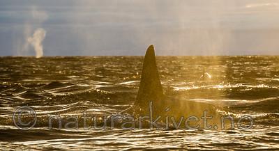 KA_130204_0210 / Orcinus orca / Spekkhogger