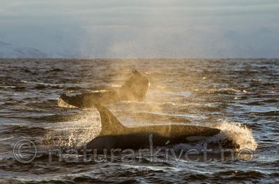 KA_130204_0319 / Megaptera novaeangliae / Knølhval <br /> Orcinus orca / Spekkhogger