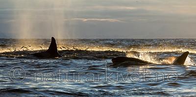 KA_130204_0343 / Orcinus orca / Spekkhogger