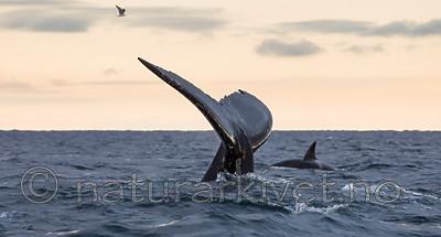 KA_130204_0485 / Megaptera novaeangliae / Knølhval <br /> Orcinus orca / Spekkhogger