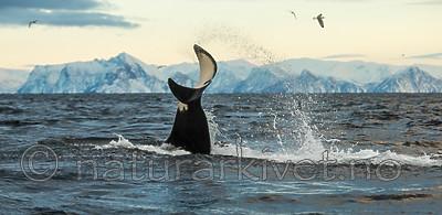 KA_130204_0634 / Orcinus orca / Spekkhogger