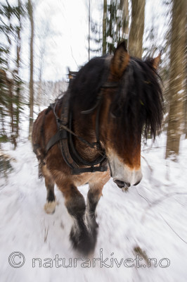 KA_130208_1060 / Equus caballus / Hest