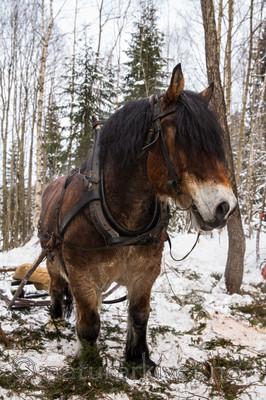 KA_130208_1062 / Equus caballus / Hest