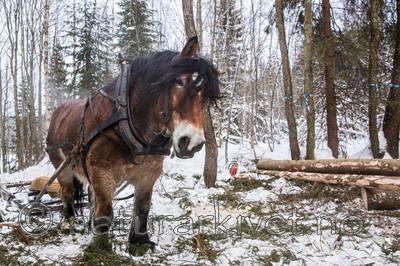 KA_130208_1063 / Equus caballus / Hest