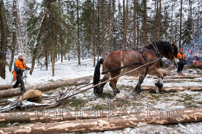 KA_130208_1075 / Equus caballus / Hest
