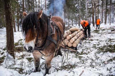 KA_130208_1089 / Equus caballus / Hest
