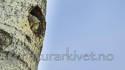 KA_130603_6790 / Surnia ulula / Haukugle