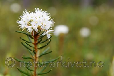 KA_130612_2484 / Rhododendron tomentosum / Finnmarkspors