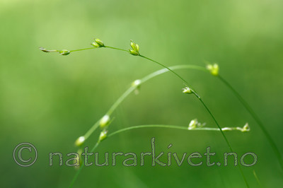 KA_130614_2598 / Carex disperma / Veikstarr