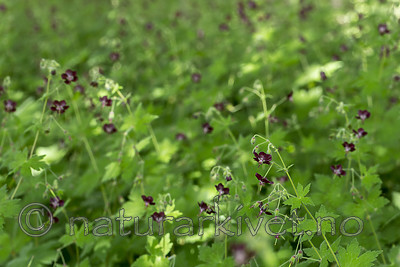 KA_130625_6913 / Geranium phaeum / Brunstorkenebb