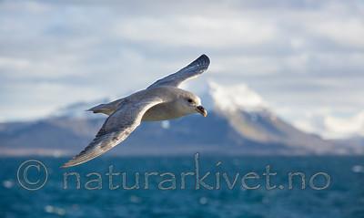 KA_130813_2694 / Fulmarus glacialis / Havhest