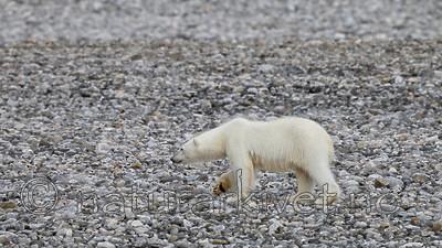 KA_130815_2789 / Ursus maritimus / Isbjørn