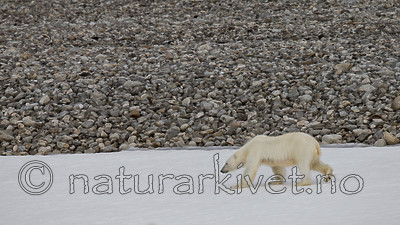 KA_130815_2792 / Ursus maritimus / Isbjørn
