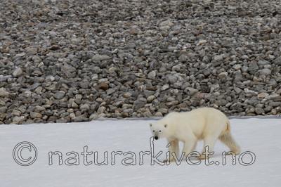 KA_130815_2793 / Ursus maritimus / Isbjørn