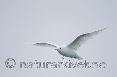 KA_130815_2949 / Pagophila eburnea / Ismåke