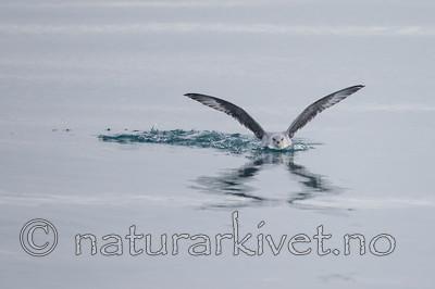 KA_130816_3162 / Fulmarus glacialis / Havhest