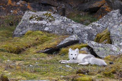 KA_130817_3623 / Vulpes lagopus / Fjellrev