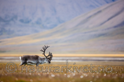 KA_130818_4002 / Rangifer tarandus / Rein
