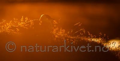 KA_130819_4070 / Stercorarius parasiticus / Tyvjo