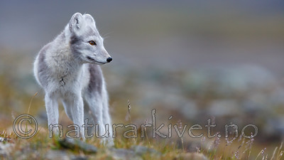 KA_130819_4422 / Vulpes lagopus / Fjellrev