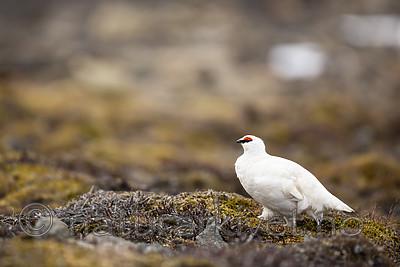 KA_140608_1871 / Lagopus muta hyperborea / Svalbardrype