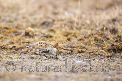 KA_140609_1960 / Calidris alpina / Myrsnipe