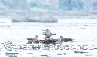 KA_140610_2026 / Fulmarus glacialis / Havhest