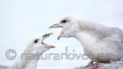 KA_140610_2037 / Fulmarus glacialis / Havhest