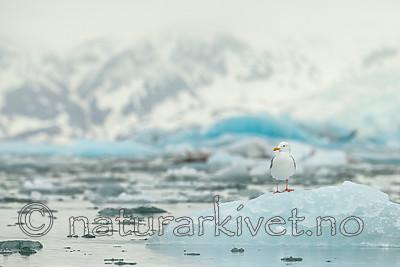 KA_140610_2099 / Larus hyperboreus / Polarmåke