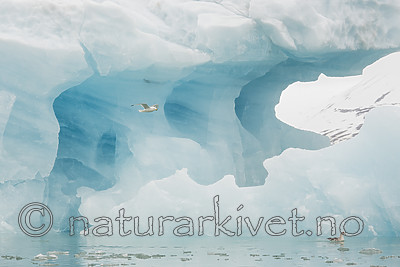 KA_140610_2117 / Fulmarus glacialis / Havhest <br /> Rissa tridactyla / Krykkje