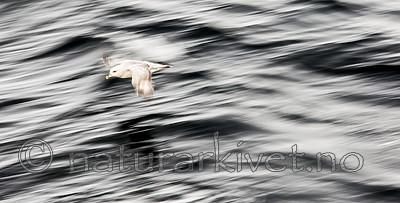 KA_140611_3301 / Fulmarus glacialis / Havhest