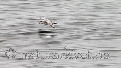 KA_140611_3324 / Fulmarus glacialis / Havhest