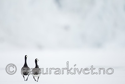 KA_140612_3730 / Branta leucopsis / Hvitkinngås