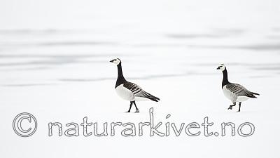 KA_140612_3734 / Branta leucopsis / Hvitkinngås